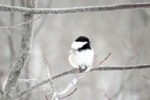 bird-chickadee